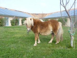 poneys en EHPAD
